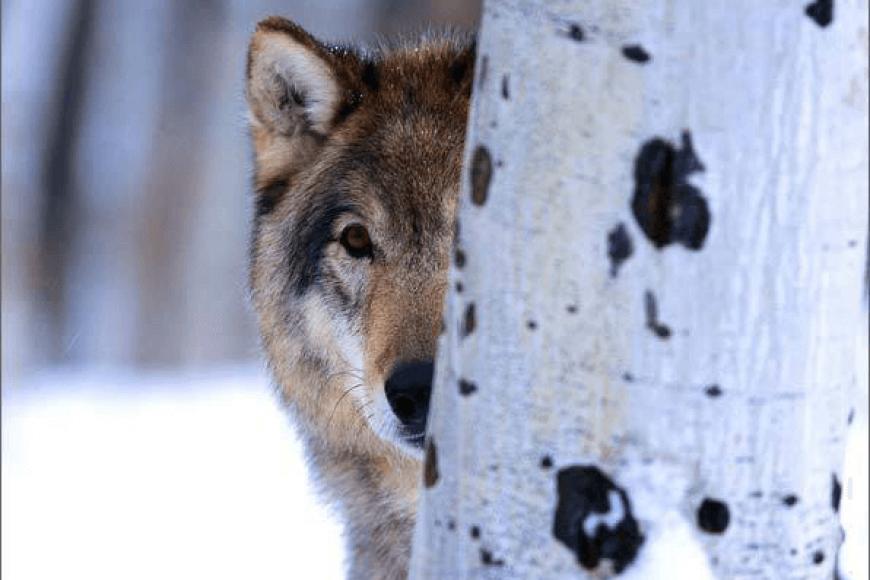 Nem félünk a farkastól, nem esz meg csak megkóstol!